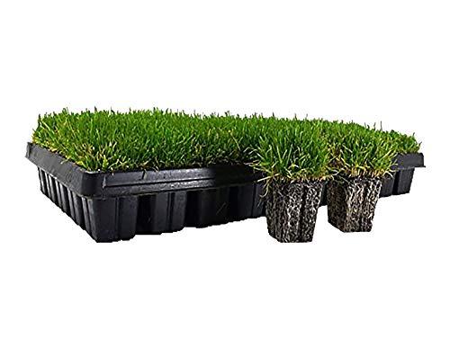 Zoysia Plugs - 200 Large Grass Plugs - Drought Tolerant, Low Maintenance