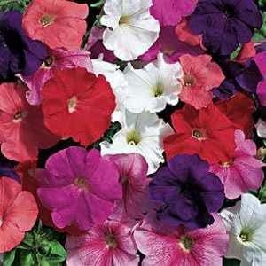Outsidepride Petunia Hybrida Mix - 5000 Seeds