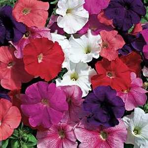 Outsidepride Petunia Hybrida Mix - 5000 Seeds