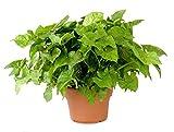 "Arrowhead Plant (Nephthytis), 6"" Pot"