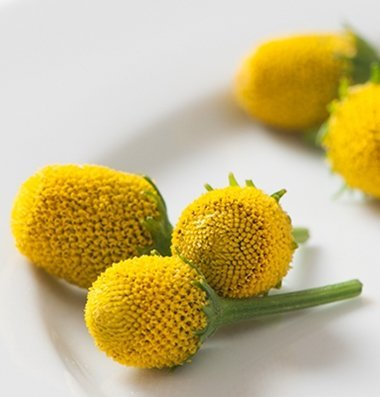 Toothache Plant - David's Garden Seeds Herb Spilanth Lemon Drops SV1766 (Yellow) 100 Non-GMO, Open Pollinated Seeds