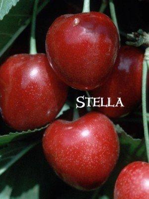 STELLA CHERRY TREE - 2 Year Old/4-5 Feet Tall