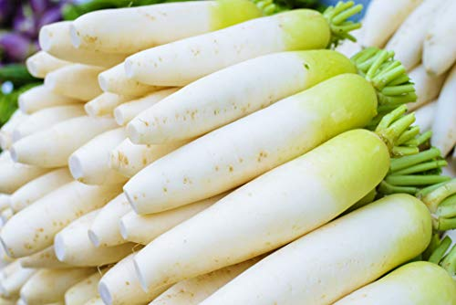 100+ Korea Icicle Radish Seeds Chinese White Turnip Luo Bo Daikon