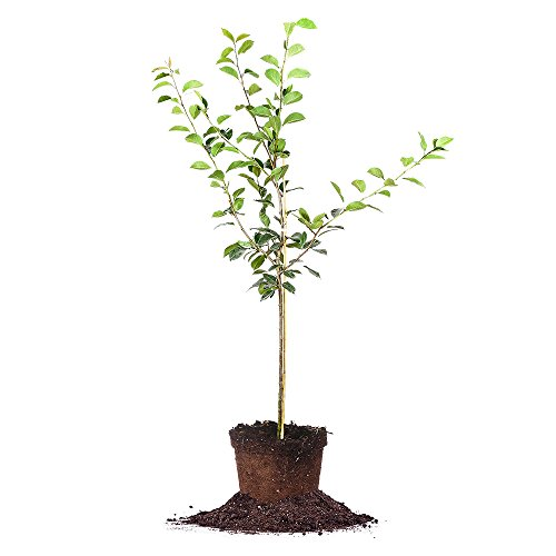 ORIENT PEAR TREE - Size: 5-6 ft, live plant, includes special blend fertilizer & planting guide by PERFECT PLANTS