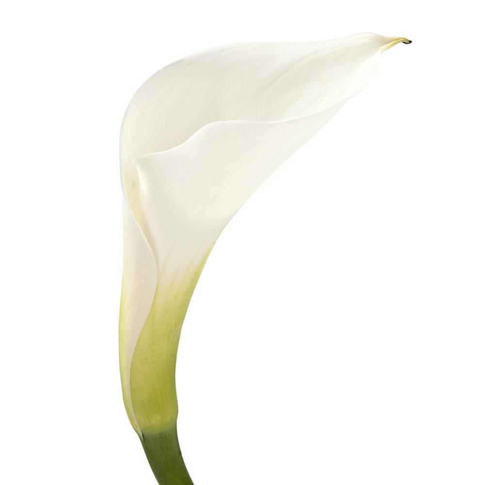 Wholesale Mini Calla Lilies (60 White)