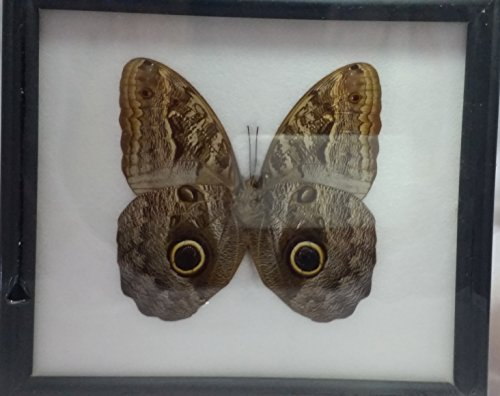 picture-frames-home-decor-rare-framed-real-beautiful-owl-butterfly-display-insect-taxidermy-67x77x1