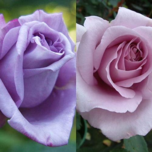 1 x Rare Rose 'Blue Moon' Bare Root Rose Plant - Hybrid Tea Blue/Lilac Highly Scented Carbeth Plants