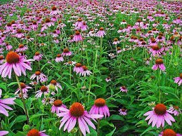 Grow Purple Coneflower - The Dirty Gardener Purple Coneflower Flowers - 1,000 Seeds