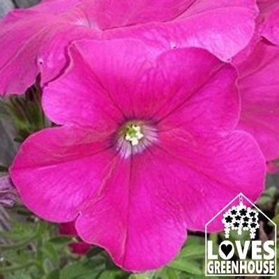Basket Starter Fire (Hot Pink Fire Petunia Seeds)