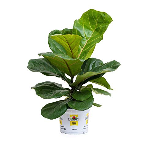 Burpee's Fiddle Leaf Fig | Ficus lyrata  | Bright Indirect Light, Easy Care House Plant | 6' Pot