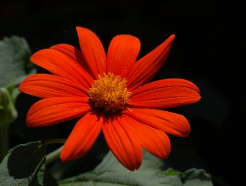 Torch Mexican Sunflower - SUNFLOWER MEXICAN TORCH Tithonia Rotundifolia - 20 Seeds