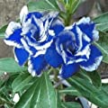 Desert Rose Seeds Blue with White Side Garden Home Bonsai Balcony Flower Adenium Obesum Seeds 1pcs