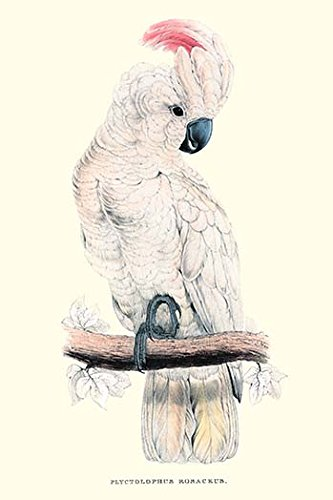 Buyenlarge 0-587-28654-7-P1218 Salmon-Crested Cockatoo-Cacatua Moluccensis Paper Poster, 12