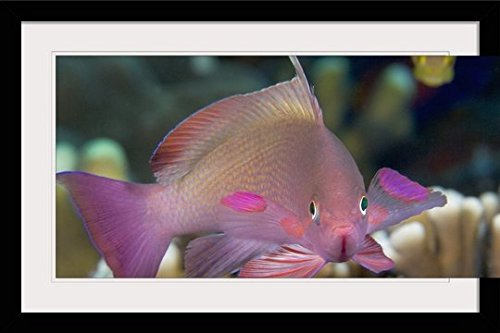 GreatBIGCanvas ''Indonesia, Lyre-Tail Anthias or Basslet (Pseudanthias Cheirospilos)'' by Dave Fleetham Photographic Print with Black Frame, 36'' x 24'' by greatBIGcanvas