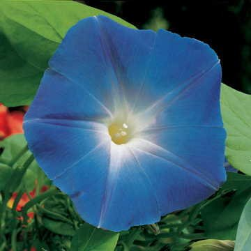 Amazon com : Park Seed Heavenly Blue Morning Glory Seeds : Garden