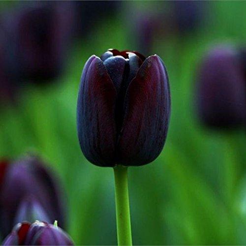 Elever Black Perfume Tulip Bulbs...