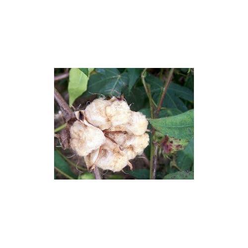 Cheap David's Garden Seeds Cotton Nankeen OP701F (Brown) 16 to 20 Heirloom Seeds