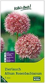 Kölle's Beste! Zierlauch - Allium Rosenbachianum - ausgefallene Blüten in rosa/rot - Zwiebelgröße 14/+ - 1 Zwiebel in der Packung