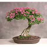 Creative Farmer Bonsai Suitable Plant Mimosa Bonsai Suitable Seeds (Pack Of 5) For Beginners-