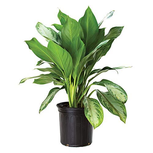 Plants Pots Evergreen - Burpee's Chinese Evergreen | Agloanema 'Silver Bay' | Indirect Medium Light, Easy Care House Plant | 8