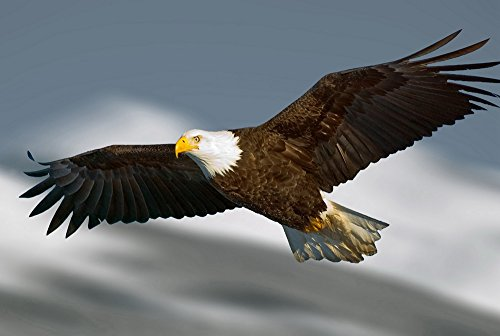 (Bald Eagle Flying (N12) - Animal Picture Art Print Canvas)