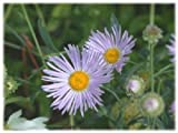30+ Aster BOLTONIA ASTEROIDES/Perennial Flower Seeds