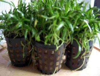 15 pots newzeelandgrass, purpleeopsis-novaezelandiae for aquarium