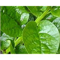 Go Garden Malabar Spinach 20 Organic Seeds (10 Red + 10 Green) Delicious Basella Alba