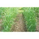 【種子】緑肥用エンバク とちゆたか 10kg