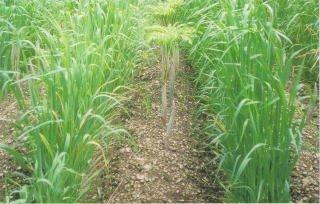 【種子】緑肥用エンバク とちゆたか 10kg B00OZ7ZVTO