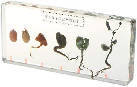 樹脂製 植物 ピーナッツ成長標本 植物検体 植物標本 教育おもちゃ