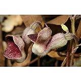 5 Aristolochia serpentaria Virginia Black Snakeroot Seed #BR05