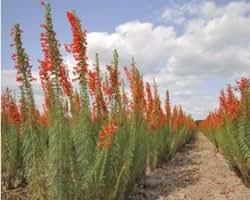 Amazon Com Standing Cypress Red Gilia Texas Plume Star