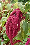 500 LOVE LIES BLEEDING AMARANTHUS Caudatus (Kiss Me Over The Garden Gate) Flower Seeds