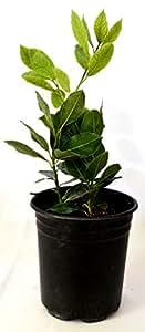 Bay Laurel Plant One Gallon