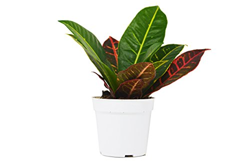 Live Croton Petra in Pot - Live Plant - FREE Care Guide - 4'' Pot by House Plant Shop