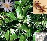Chinese Star Anise 10 Seeds - Illicium verum - Rare