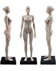TT DENTAL 11 Inch Vrouwelijke Menselijke Anatomie Model van Kunst Anatomie Figuur (Wit)