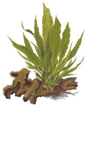 Microsorum Pteropus – piantato acquario pianta Aqua Plants