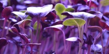 Rambo Radish Microgreen Seeds - Todd's Sprouting Seeds - Radish Sprouting Seeds
