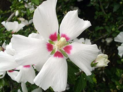 Amazoncom 30 Red Heart Rose Of Sharon Seeds Hibiscus Syriacus