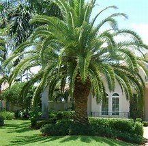 Canary Palm Trees (12 Seeds Canary Island Date Palm Tree (Phoenix canariensis))