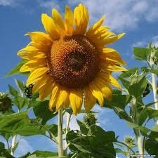 100 Seeds Mammoth Grey Stripe Sunflower Easy Grow -