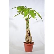 "9GreenBox - 5 Money Tree Plants Braided into 1 Tree -Pachira-4"" Pot"