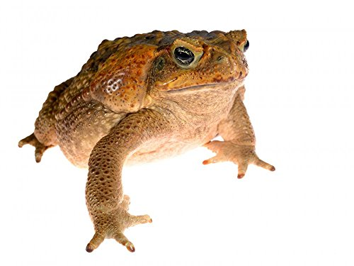 Wallmonkeys The Cane Toad  Giant Marine Toad  Bufo Marinus Isolated On White Peel And Stick Wall Decals Wm264212  18 In W X 14 In H