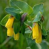 Outsidepride Cerinthe Major Minor - 50 Seeds