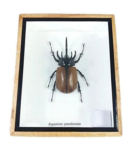 Rare Giant 5 Horn Rhino Beetle,A1 Taxidermy Insect Box En...