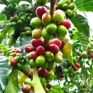 15 Seeds Arabian Coffee, Mountain Coffee, Arabica Coffee, Coffee Shrub Of Arabia Coffea Arabica Plant
