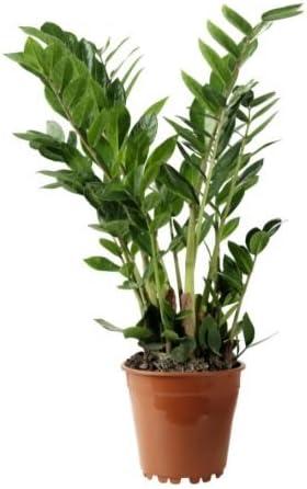 IKEA Zamioculcas - Planta en maceta, palma Aroid - 17 cm: Amazon.es: Jardín