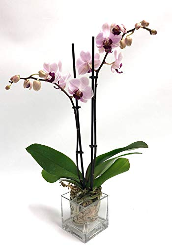Athena's Garden Real Naturally Vibrant Light Pink Double Stem Large 3